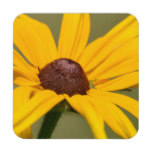 Blooming Black Eyed Susan Drink Coaster