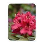 Blooming Red Rhododendron Blossoms Flowering Magnet