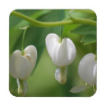 Delicate White Bleeding Heart Coaster