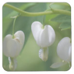 Delicate White Bleeding Heart Square Paper Coaster