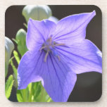 Flowering Balloon Flowers Coaster