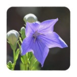 Flowering Balloon Flowers Drink Coaster