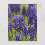 Grape Hyacinth Bulbs Postcard