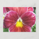 Johnny Jump Up Flowers Postcard