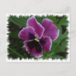 Pansy Pictures Postcard