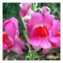 Pink Snapdragon Flowers Card