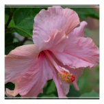 Pretty Pink Hibiscus Poster