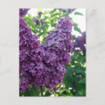 Pretty Purple Lilacs Postcard