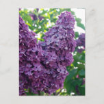 Purple Lilacs Postcard