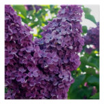 Purple Lilacs Poster Prints