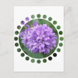 Purple Phlox Postcard