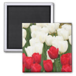 Red and White Tulips Magnet