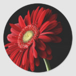 Red Gerber Daisy Sticker