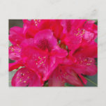 Red Rhododendron Postcard