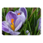 Striped Crocus Card