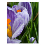 Striped Crocus Postcard