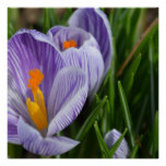 Striped Crocus Poster