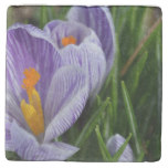 Striped Crocus Stone Coaster