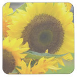 Sunflowers in Bloom Square Paper Coaster