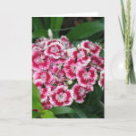 Sweet William Flowers Greeting Card