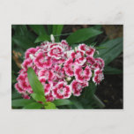 Sweet William Flowers Postcard