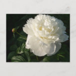 White Double Peonies Postcard